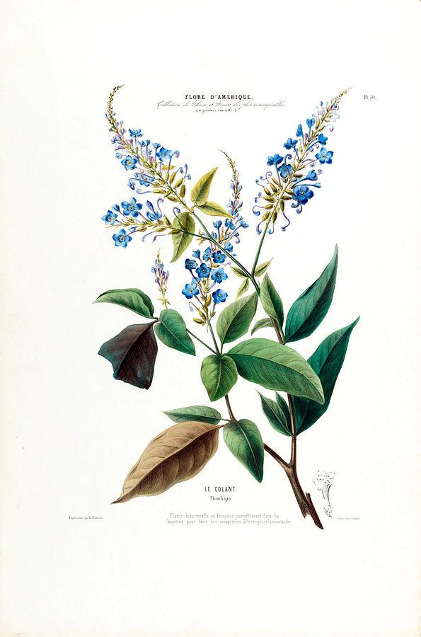 Blue Floral Le Colant Plombayo Plant Flore D Amerique by Vintage Botanical Gallery