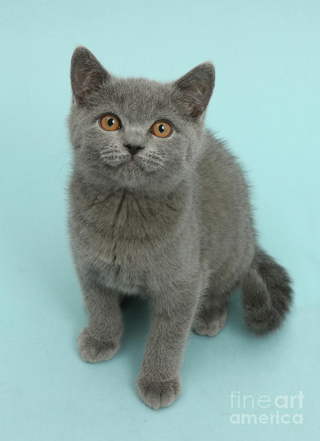Blue grey kitty by Warren Photographic