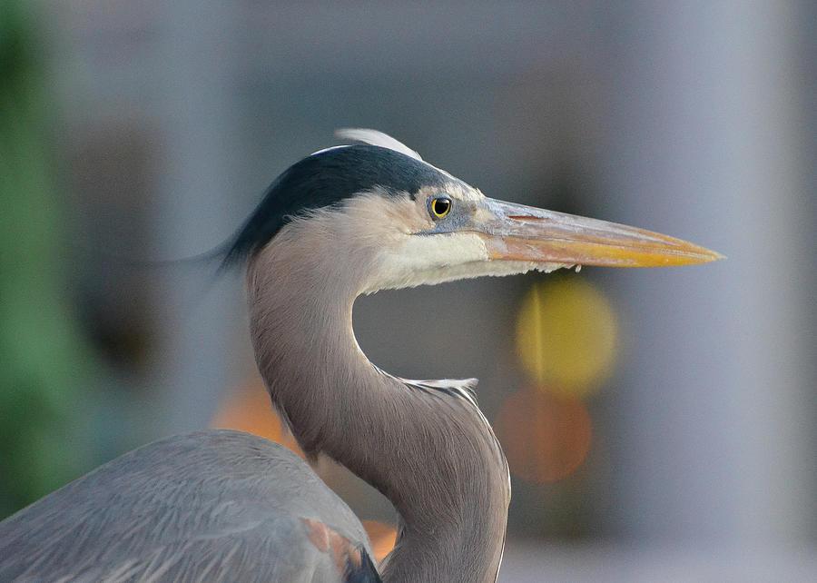 Blue Heron by Amanda Rimmer