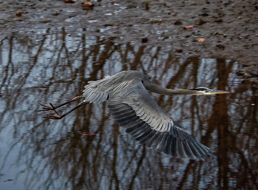Blue Heron in flight by Paul Ross