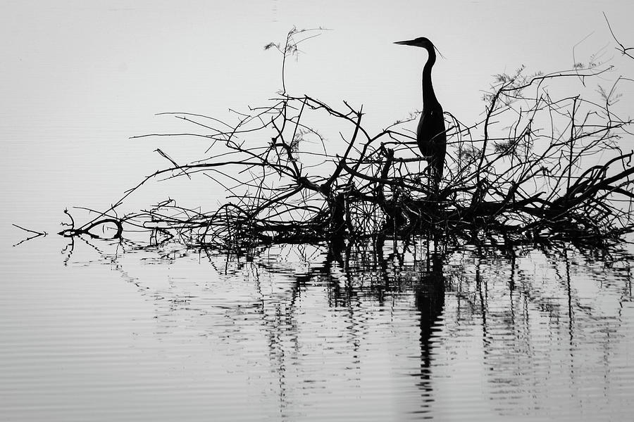 California Photograph - Blue Heron in Monochrome by Jack and Darnell Est