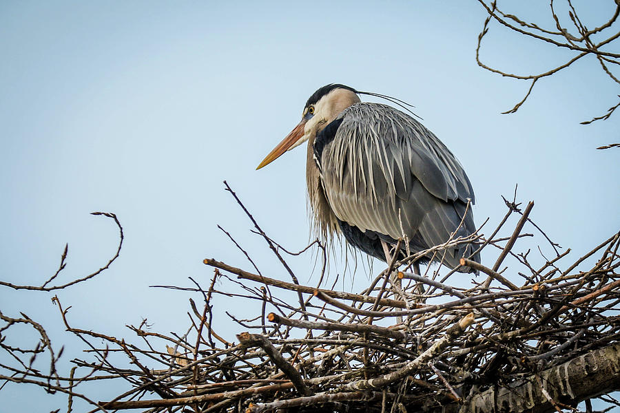 Bird Photograph - Blue Heron by Kamie Stephen