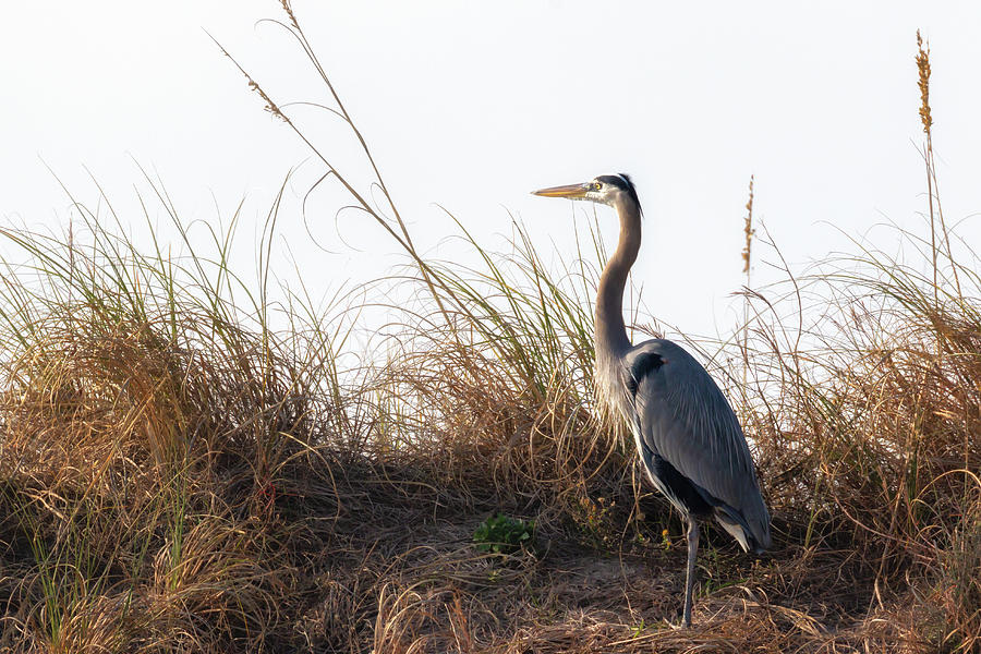 Blue Heron on the Dunes by Susan Rissi Tregoning