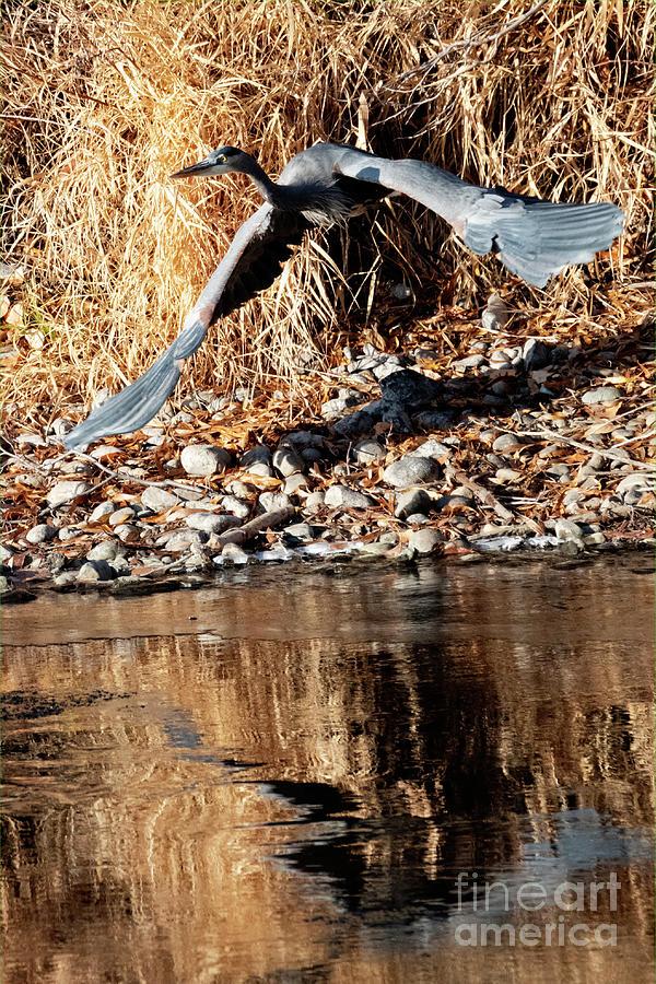 Blue Heron Take-off by Mike Dawson