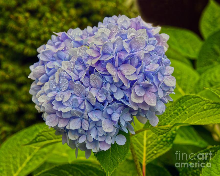 Blue Hydrangea Blossom Photograph