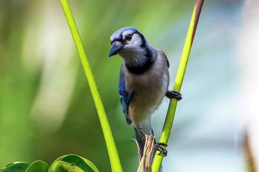 Blue Jay Series_01 Photograph