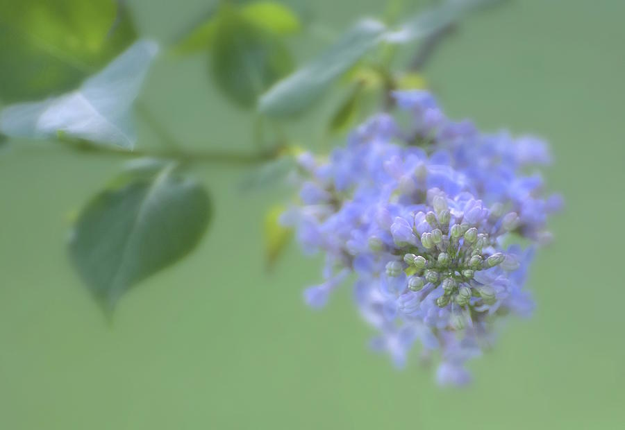 Lilacs Photograph - Blue Lilac by Norma A Lahens