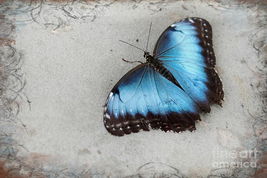 Blue Morpho Butterfly Photograph