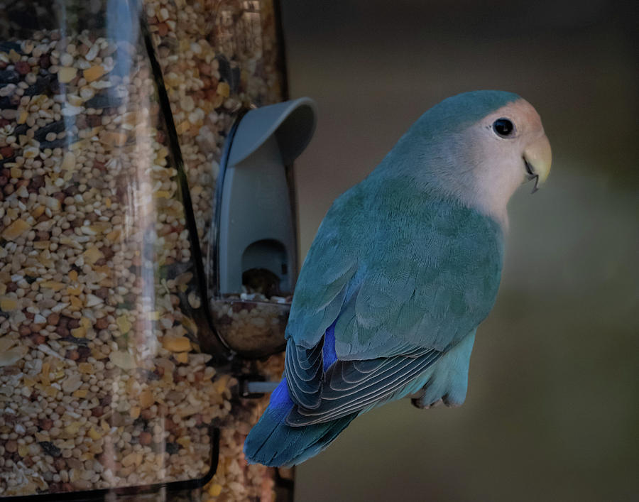 Blue, Peach-faced Lovebird by Hershey Art Images
