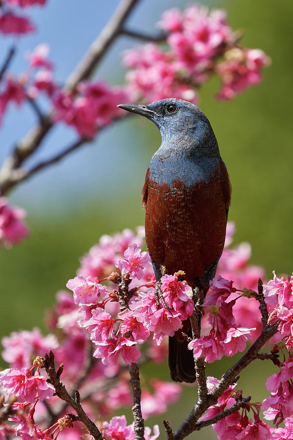 Birds Photograph - Blue Rock-Thrush, Okinawa Japan by Doug Herr