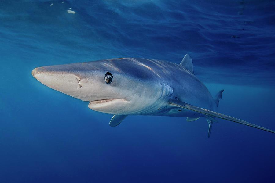 Blue Shark Photograph