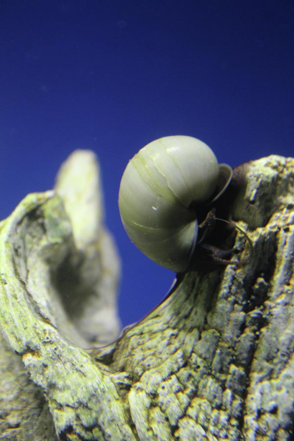 Snail Photograph - Blue Snail by Holly Morris