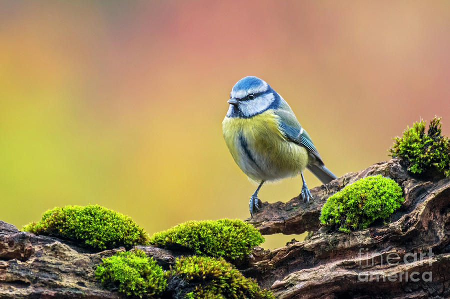Blue Tit in Forest by Arterra Picture Library