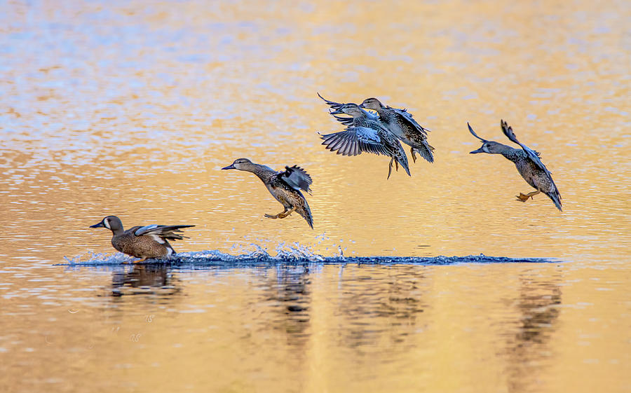 Blue Wing Teal Landing Photograph by Larry Maras