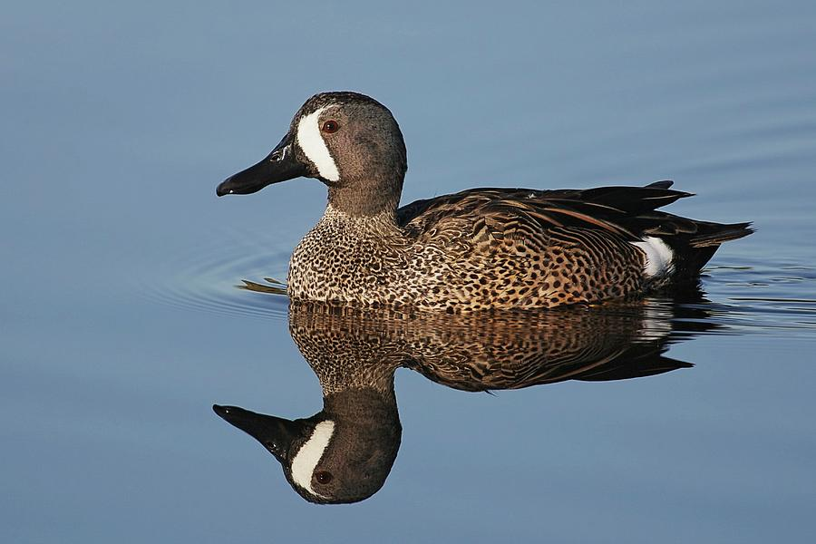 Blue-winged Teal Reflection Photograph