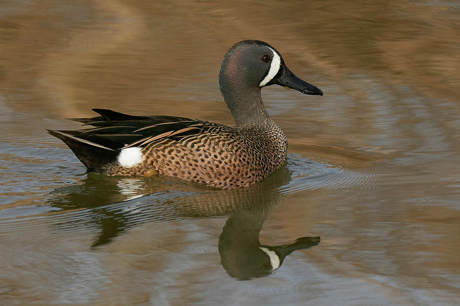 Blue-winged Teal, Yolo County California by Doug Herr