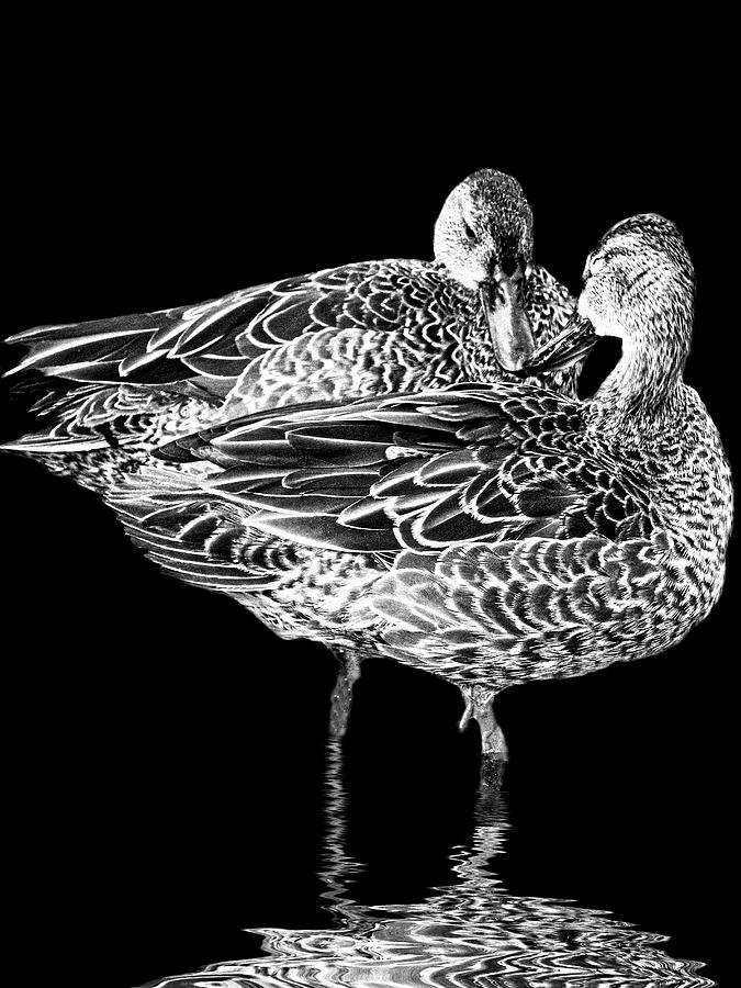Blue-winged teals with reflection in black and white by Perla Copernik