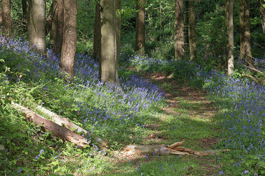 Bluebell Wood In Spring Photograph