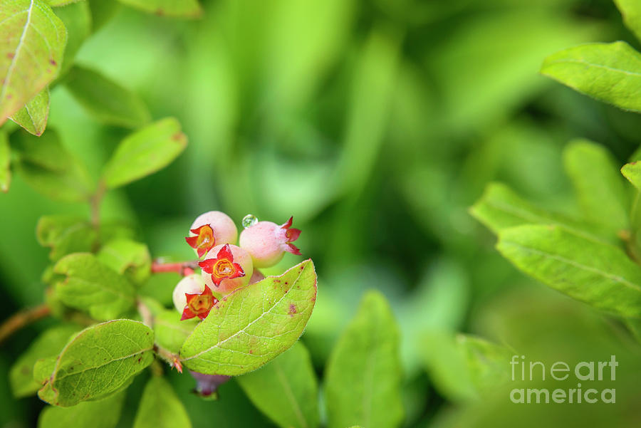 Blueberries Pink Photograph