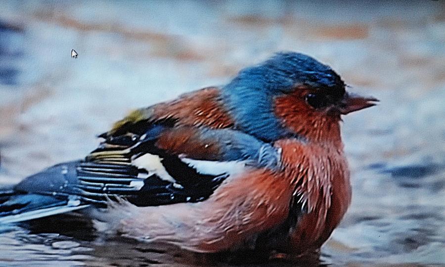 Bluebird Photograph - Bluebird In Rest by Ee Photography