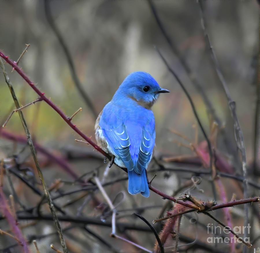 Bluebird In The Brambles Photograph