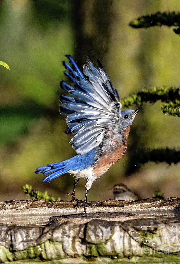 Bluebird Landing Photograph