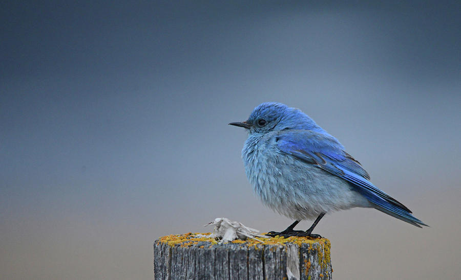 Bluebird Of The Angels Photograph