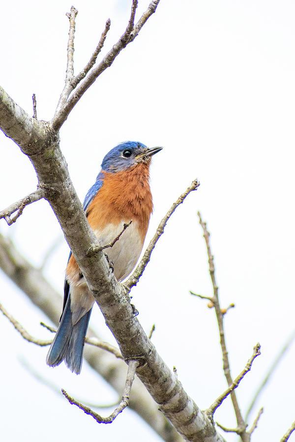 Bluebird On A Branch Photograph