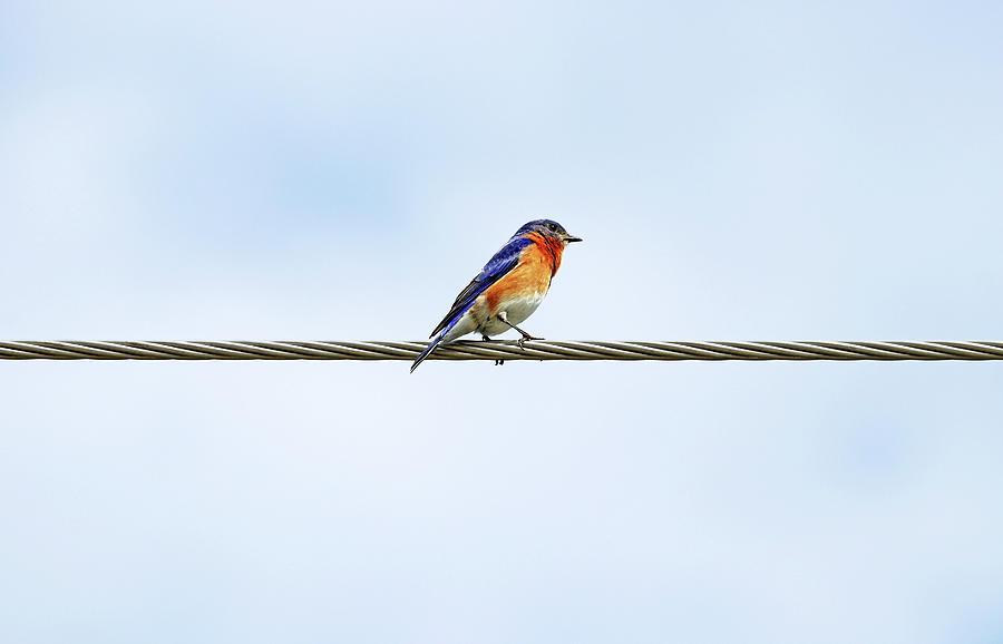 Bluebird On Wire Photograph