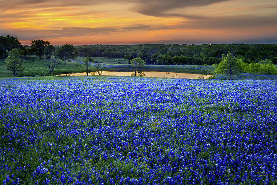 Texas Bluebonnets Photograph - Bluebonnet Lake Vista Texas Sunset - Wildflowers landscape flowers pond by Jon Holiday