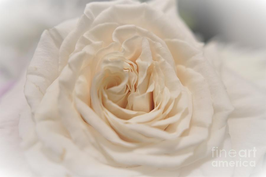 Blush Petals Photograph