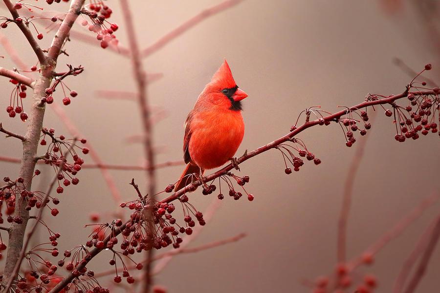 Cardinal Photograph - Bold Beauty by Rob Blair