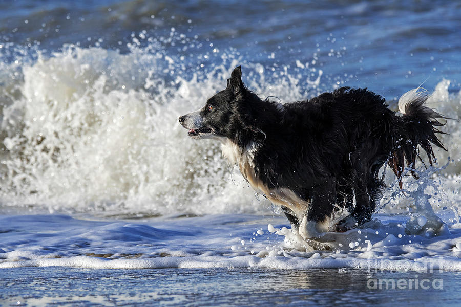 Border Collie by Arterra Picture Library