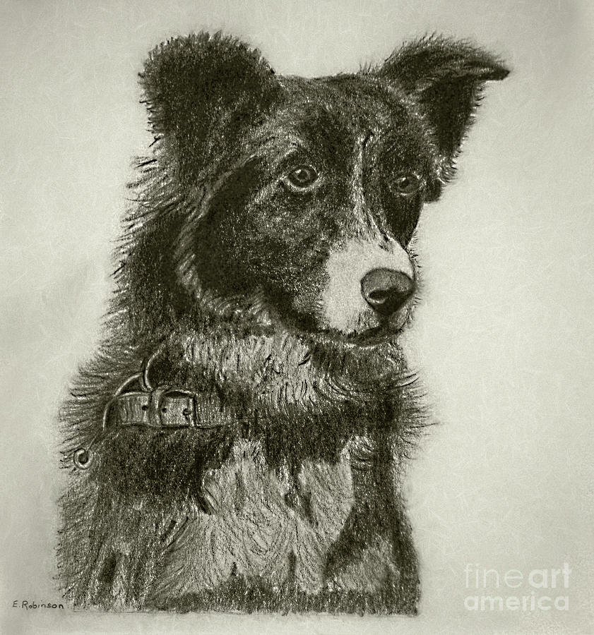 Border Collie Pencil Charcoal By My Mother Drawing