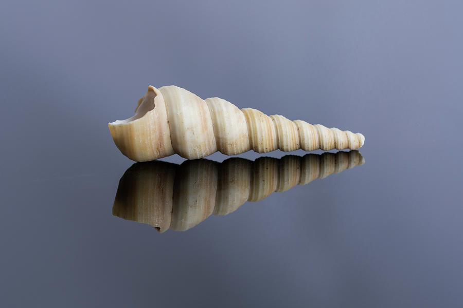 Boring Torret Seashell Photograph