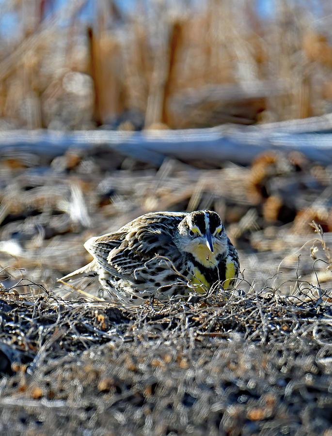Bosque Meadowlark Photograph