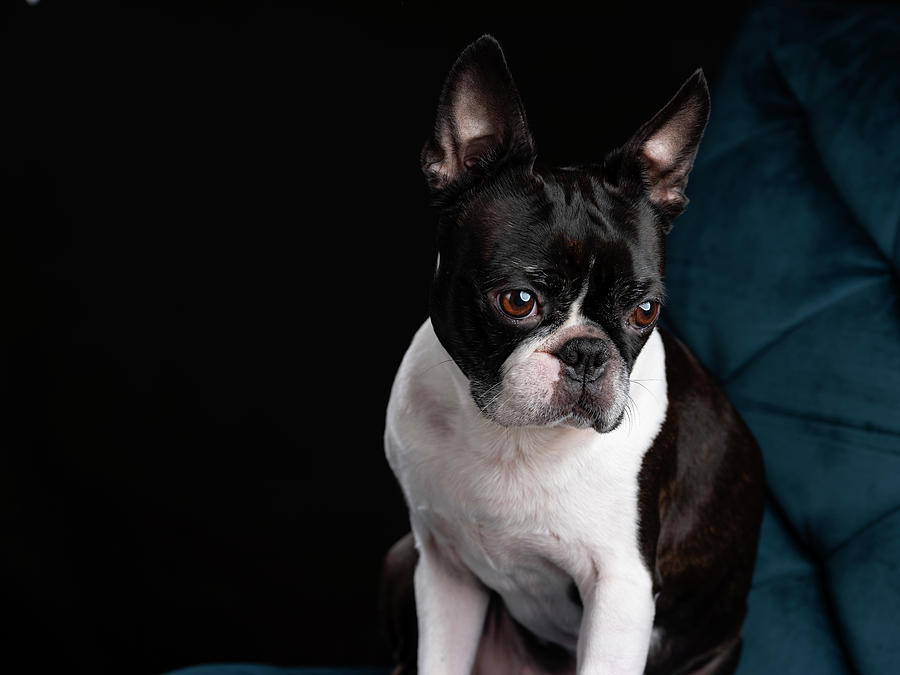Boston Terrier Photograph - Boston Terrier by Nailia Schwarz