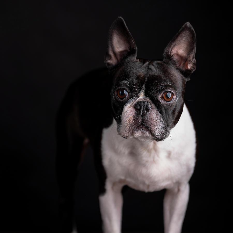 Boston Terrier Portrait Photograph