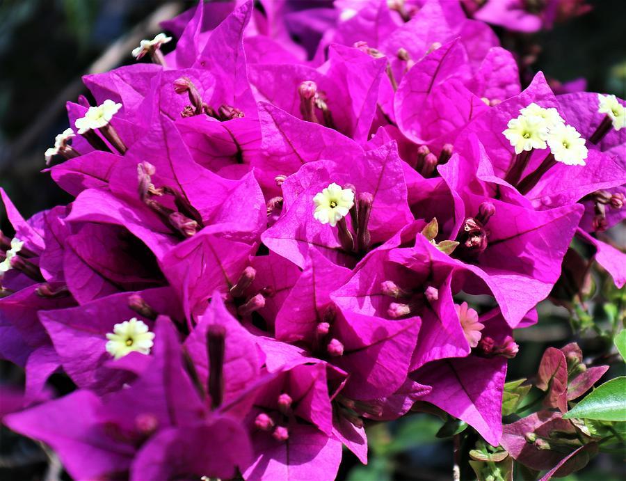Bougainvillea Photograph