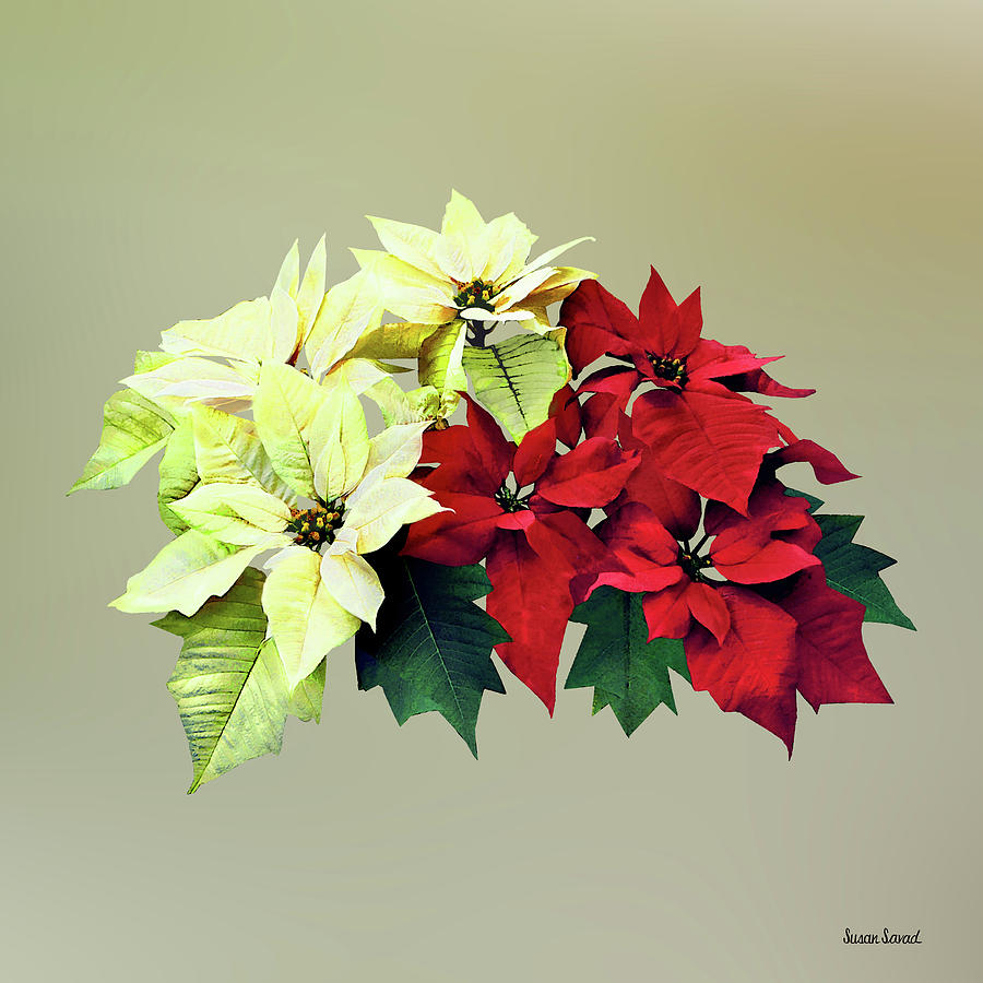 Bouquet of Red and Yellow Poinsettia by Susan Savad
