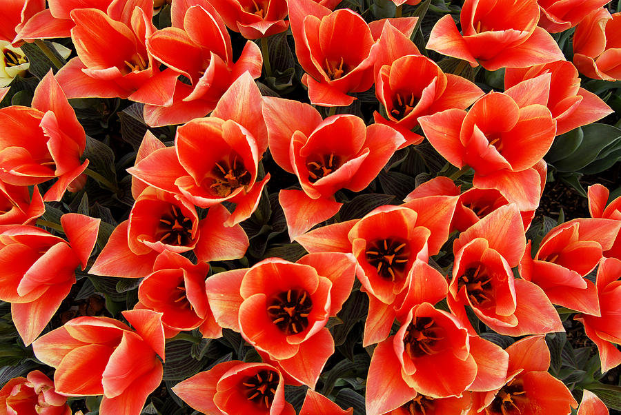 Bouquet Of Red-orange Tulips Photograph by Keith Gondron