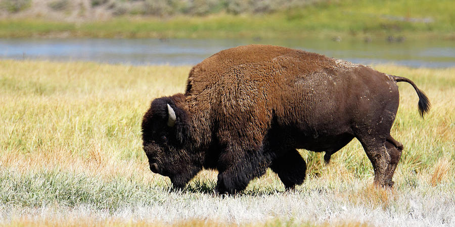 Bozheena -- American Bison in Yellowstone National Park, Wyoming by Darin Volpe