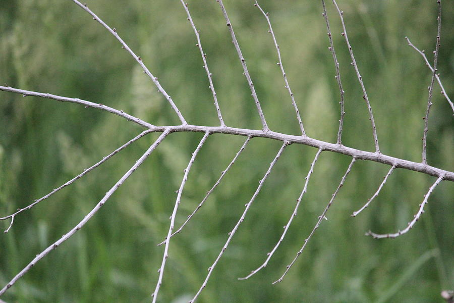 Branch Photograph - Branching by Callen Harty