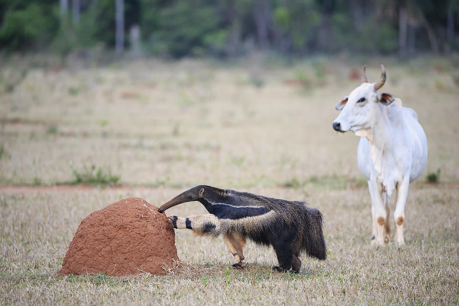Brazil, Mato Grosso, Mato Grosso do Sul, Pantanal, giant anteater and termite hill Photograph by Westend61