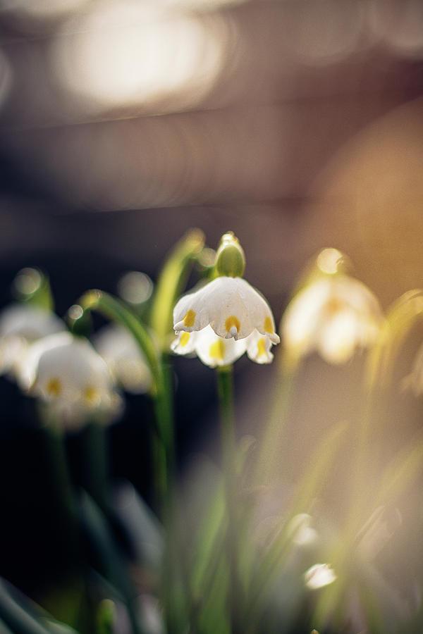 Breathtaking Leucojum Vernum. Crrr Alarm - Wake Up Photograph