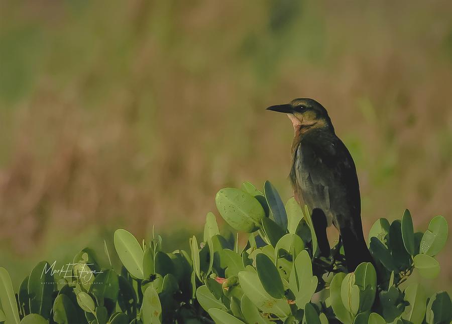 Brewer's Blackbird Photograph - Brewers Blackbird by Mark Fuge