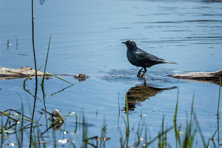 Brewers Blackbird Wading In The Water Photograph