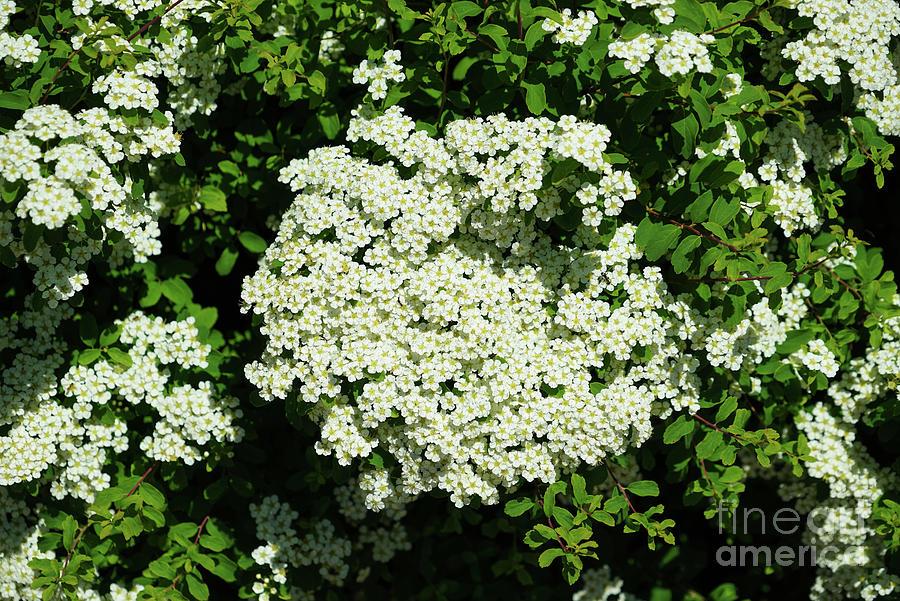 Bridal Wreath Spirea Photograph