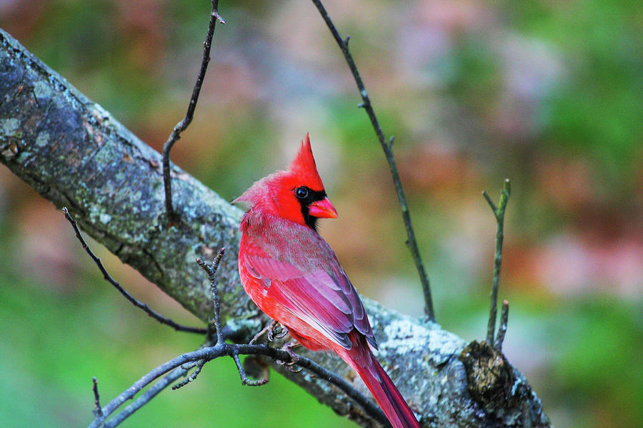 Bright Red Cardinal In A Tree Photograph