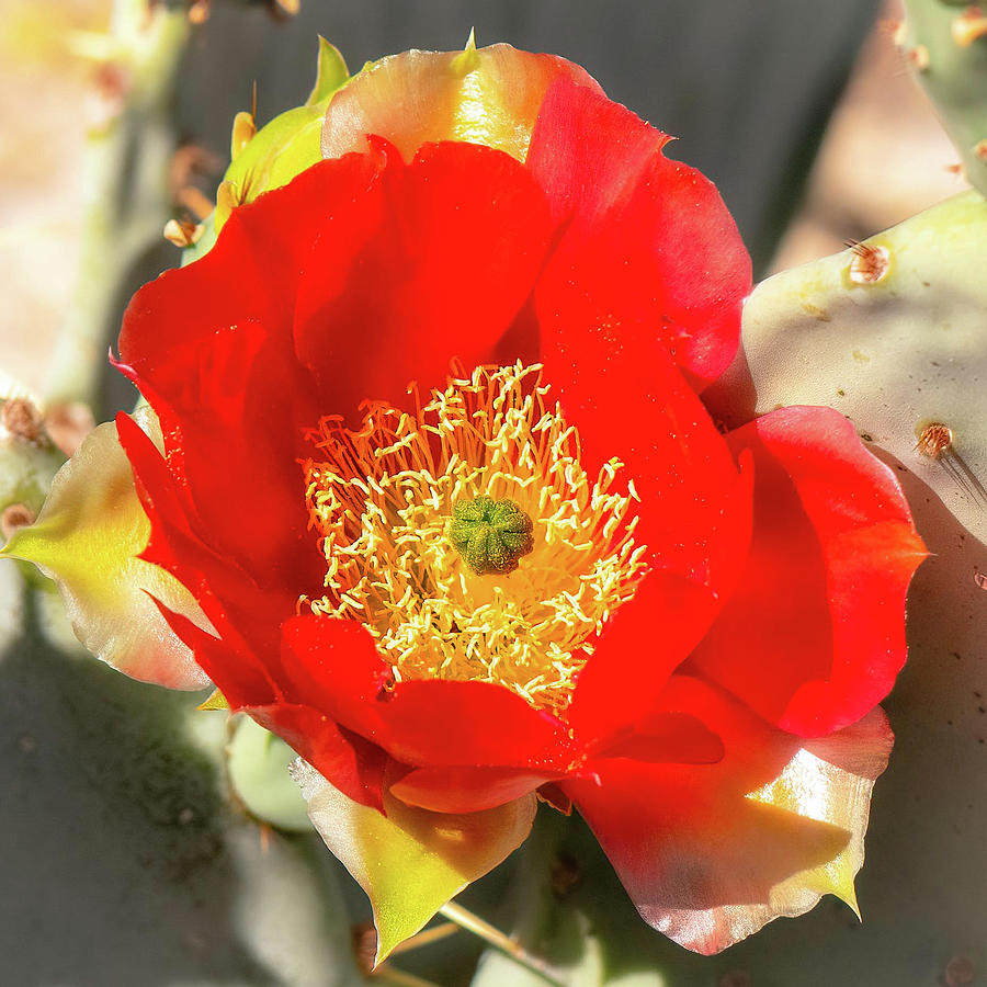 Bright Red On Cactus Photograph